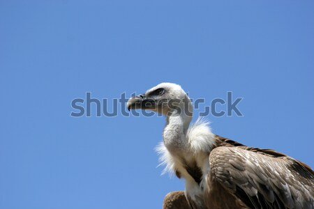 Vulture isolated in blue background Stock photo © hsfelix