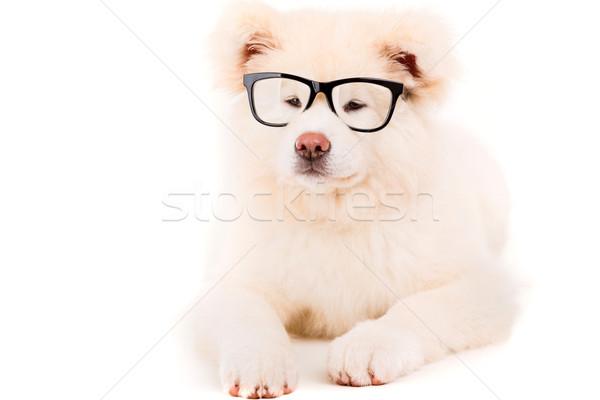 Gyönyörű kutya pózol stúdió szemüveg fehér Stock fotó © hsfelix