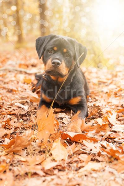 Rottweiler chiot belle marche parc chien Photo stock © hsfelix