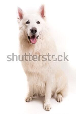 Swiss White Shepherd Stock photo © hsfelix