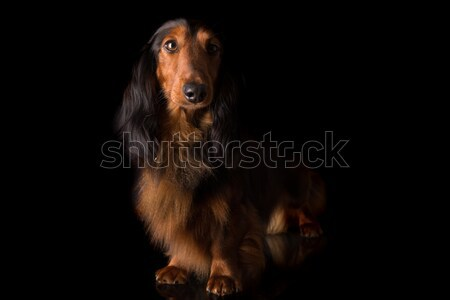 Teckel (dachshund)  Stock photo © hsfelix