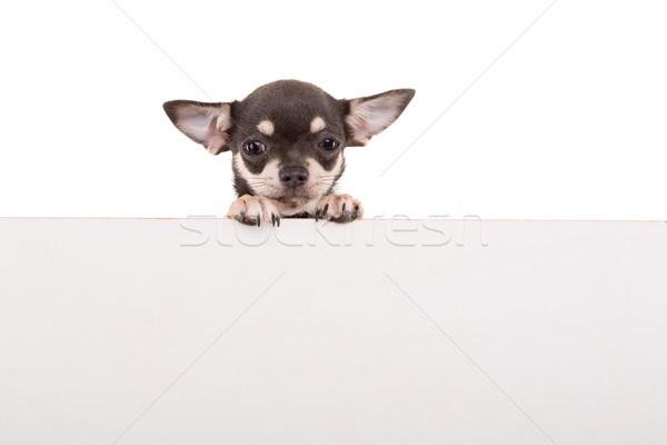 Cachorro acima branco bandeira isolado fundo Foto stock © hsfelix