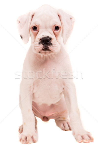 Сток-фото: Боксер · молодые · красивой · щенков · изолированный · белый