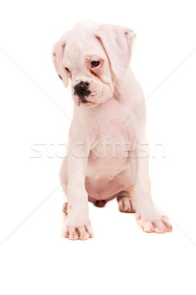 Boxeador jovem belo cachorro isolado branco Foto stock © hsfelix