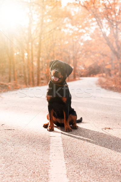 Stock photo: Rottweiler puppy