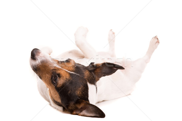 Jack Russell Terrier Stock photo © hsfelix