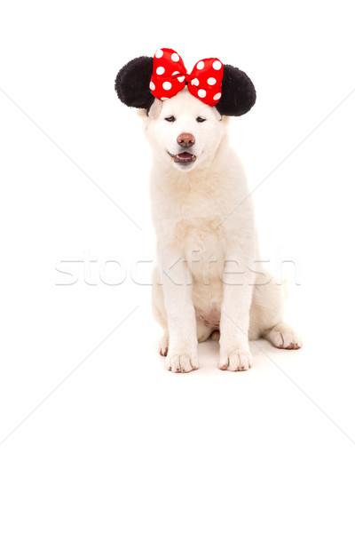 Gyönyörű kutya karnevál halloween fehér japán Stock fotó © hsfelix
