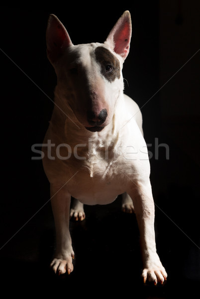 Bull terrier Stock photo © hsfelix