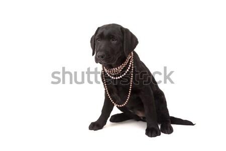 Labrador retriever studio fotografie copil izolat alb Imagine de stoc © hsfelix