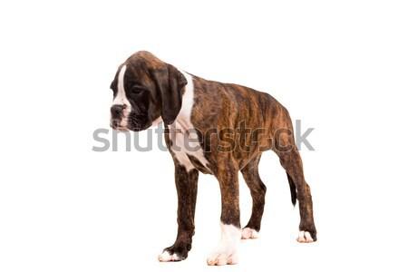 Stok fotoğraf: Güzel · boksör · köpek · yavrusu · genç · yalıtılmış · beyaz