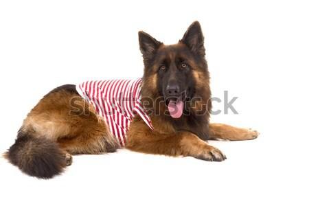 Pastor perro aislado blanco naturaleza seguridad Foto stock © hsfelix