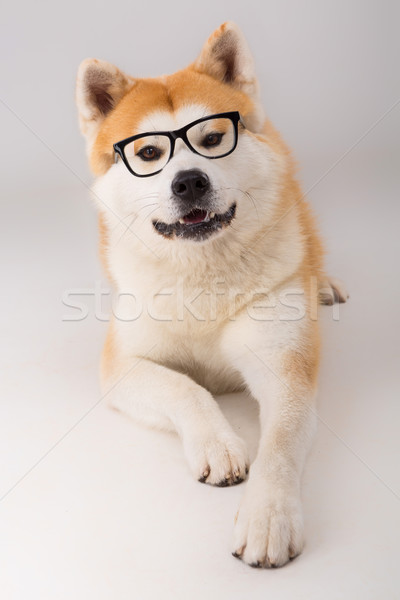 Gyönyörű kutya pózol stúdió háttér szemüveg Stock fotó © hsfelix