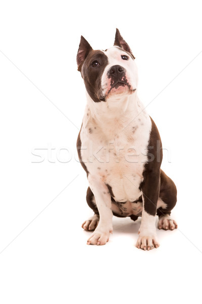 American Staffordshire Terrier Stock photo © hsfelix