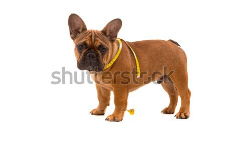 French Bulldog puppy on diet Stock photo © hsfelix