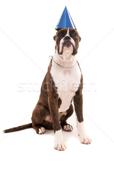 Boxoló kutyakölyök visel ünnepi kalap izolált Stock fotó © hsfelix