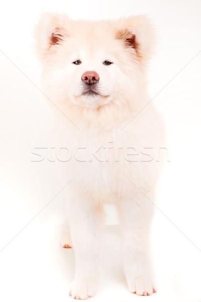 Gyönyörű kutya pózol stúdió fehér állat Stock fotó © hsfelix