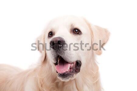 Золотистый ретривер портрет изолированный белый собака лице Сток-фото © hsfelix
