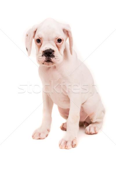 Stok fotoğraf: Boksör · genç · güzel · köpek · yavrusu · yalıtılmış · beyaz