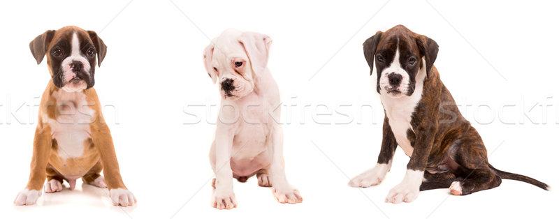 3 types of boxer puppies Stock photo © hsfelix