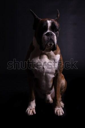 Boxeador incrível olhando posando isolado estúdio Foto stock © hsfelix