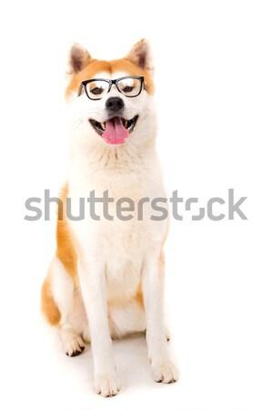 красивой собака позируют студию красоту очки Сток-фото © hsfelix