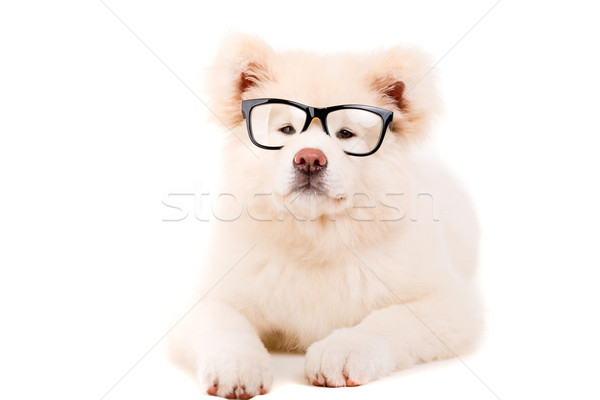 Stok fotoğraf: Güzel · köpek · poz · stüdyo · gözlük · beyaz
