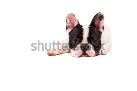 French Bulldog puppy Stock photo © hsfelix