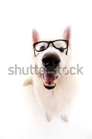 Fehér juhász gyönyörű kutya pózol stúdió Stock fotó © hsfelix