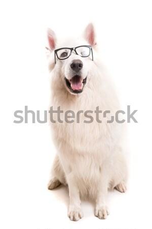 白 羊飼い 美しい 犬 ポーズ スタジオ ストックフォト © hsfelix
