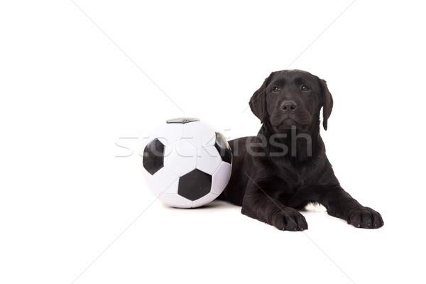 Labrador retriever estudio foto bebé aislado blanco Foto stock © hsfelix