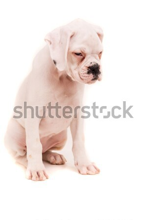 Boxer Stock photo © hsfelix