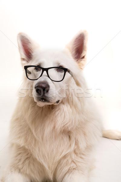 Сток-фото: белый · пастух · красивой · собака · позируют · студию