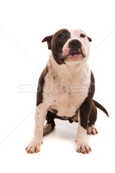 Staffordshire terrier baba pózol izolált fehér háttér Stock fotó © hsfelix