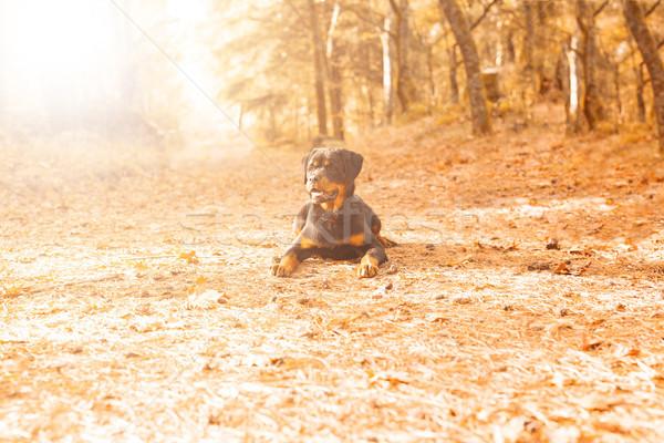 Rottweiler kutyakölyök gyönyörű sétál park kutya Stock fotó © hsfelix