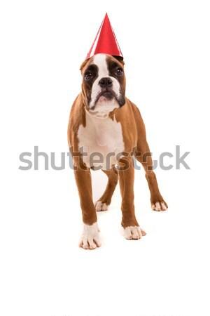 Boxer Welpen tragen hat isoliert Stock foto © hsfelix
