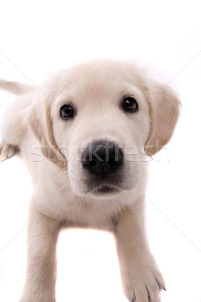Baby golden retriever portret geïsoleerd witte hond Stockfoto © hsfelix