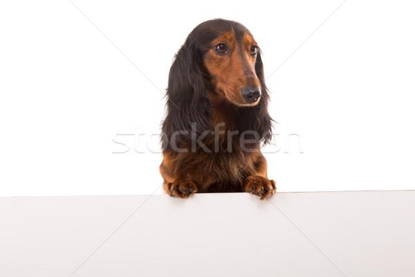 ダックスフント 面白い 子犬 白 バナー 孤立した ストックフォト © hsfelix