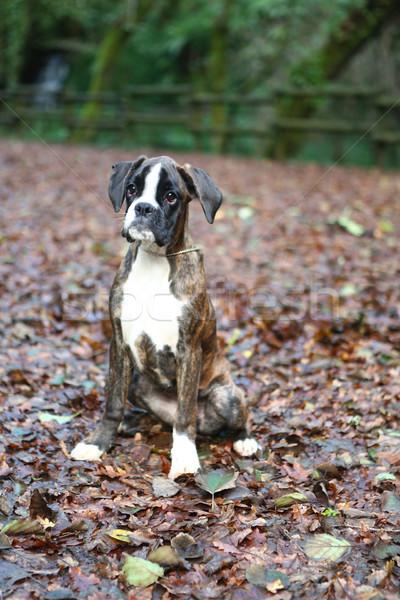 Boxeador incrível jovem parque outono cão Foto stock © hsfelix