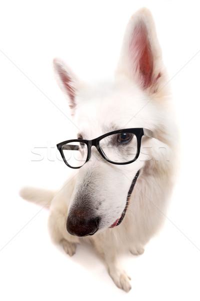 белый пастух красивой собака позируют студию Сток-фото © hsfelix