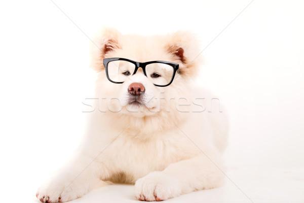 Gyönyörű kutya pózol stúdió szemüveg fiatal Stock fotó © hsfelix
