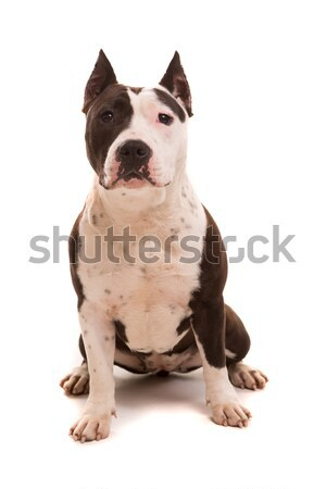 American Staffordshire Terrier Stock photo © hsfelix