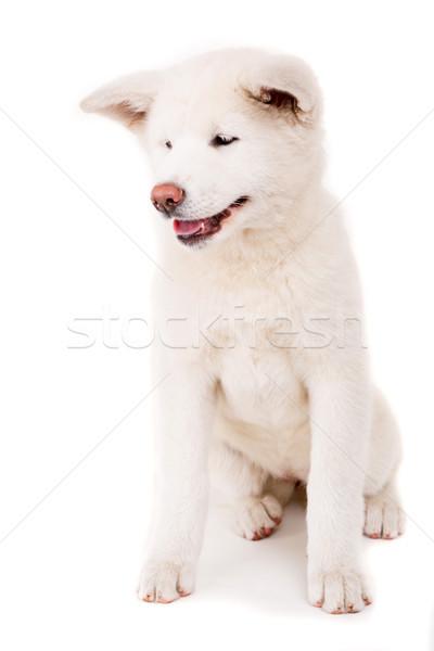 Gyönyörű kutya pózol stúdió fehér japán Stock fotó © hsfelix
