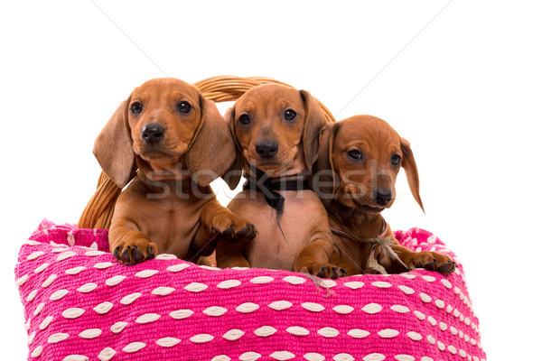 Teckel puppies Stock photo © hsfelix