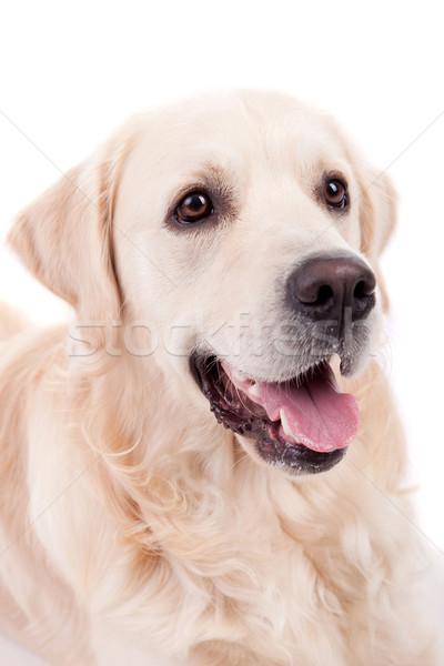 Golden retriever portrait isolé blanche bébé chien Photo stock © hsfelix