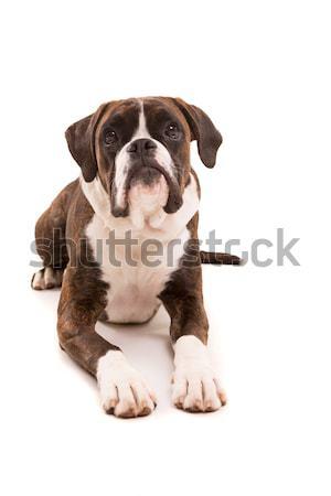 ボクサー 小さな 美しい 子犬 孤立した 白 ストックフォト © hsfelix