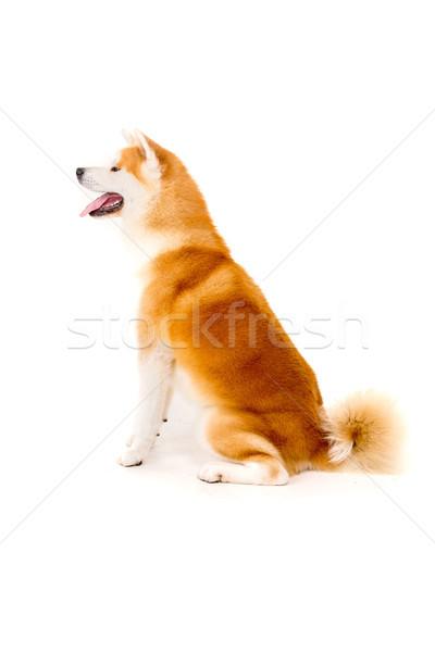 красивой собака позируют студию белый Японский Сток-фото © hsfelix