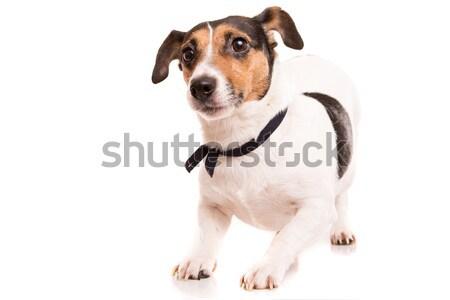 ジャックラッセルテリア ポーズ 孤立した 白 犬 幸せ ストックフォト © hsfelix