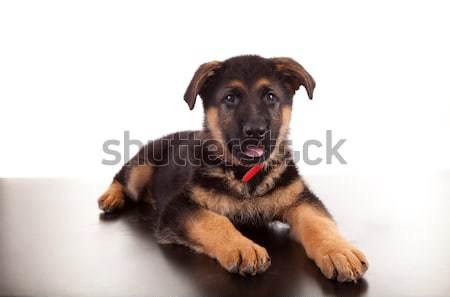 Pastor perro aislado blanco naturaleza diversión Foto stock © hsfelix
