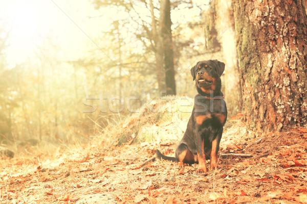 Rottweiler köpek yavrusu güzel yürüyüş park köpek Stok fotoğraf © hsfelix