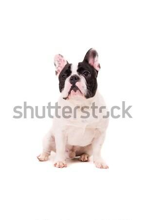 Francia bulldog kutyakölyök vicces pózol izolált Stock fotó © hsfelix